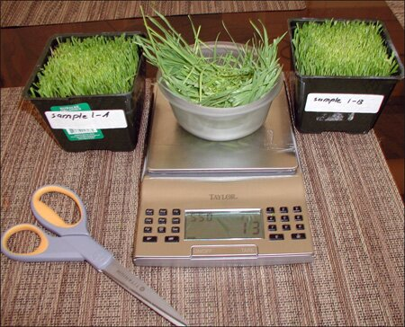 weighing the wheatgrass